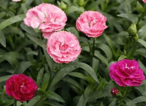 Фото цветок Гвоздика (Dianthus)