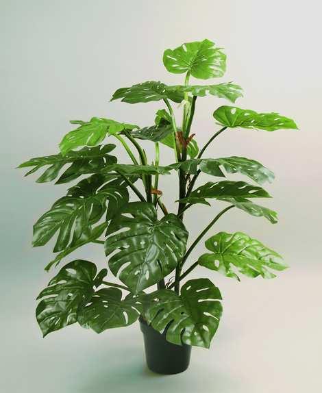 Народные приметы о комнатных растениях Monstera