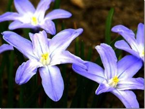 цветок Хионодокса, Chionodoxa (Снеговик) фото