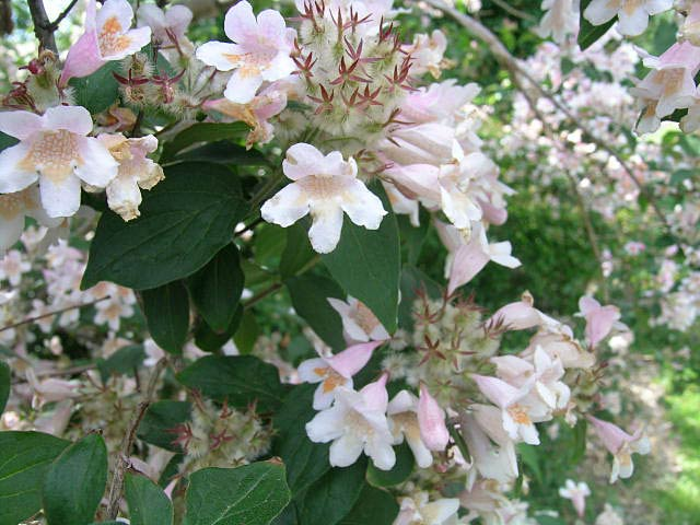 фото цветов абелия abeliya