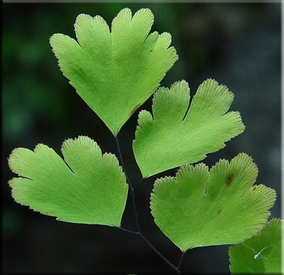 Адиантум венерин волос (Adiantum capillus-veneris)