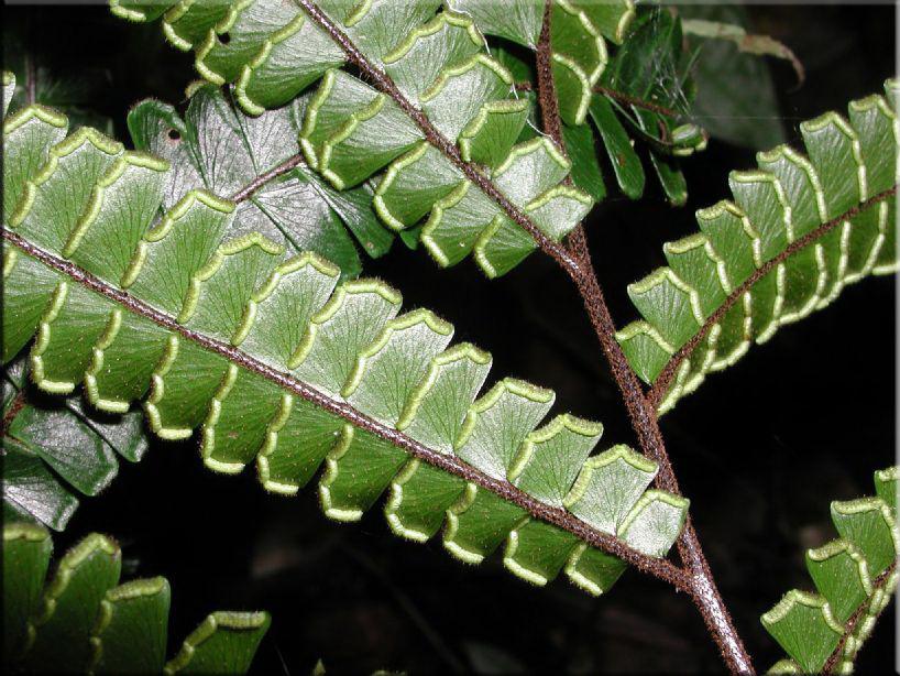 Адиант четырехлопастный (Adiantum tetraphyllum)