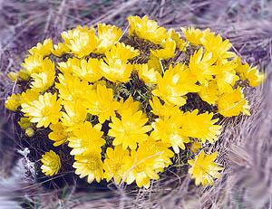 Адонис весенний (Adonis vernalis L.)