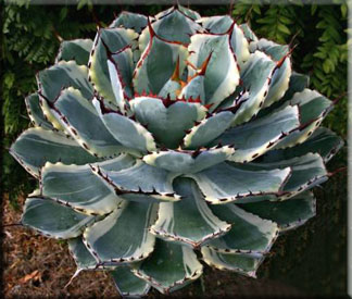 Агава потаторум (Agave potatorum Zucc)