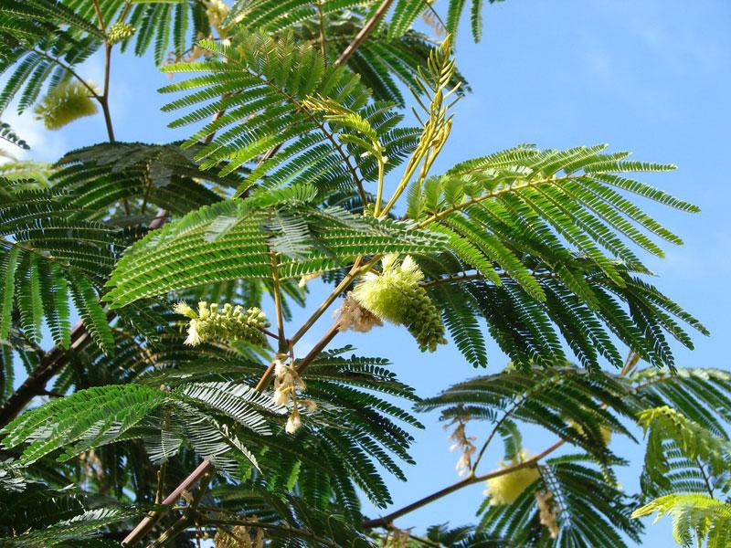 Альбиция пучкоцветковая (Albizia lophantha)