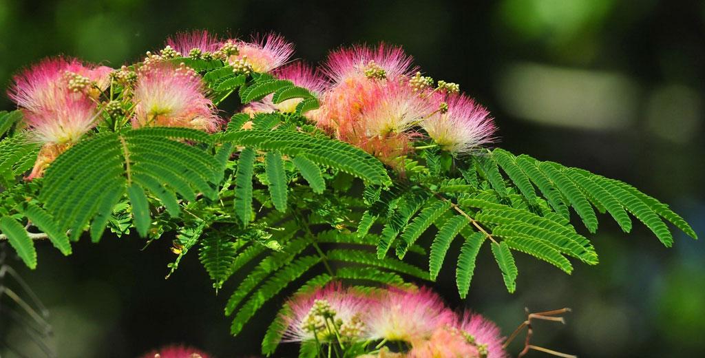 Альбиция ленкоранская, или Акация шёлковая (лат. Albizia julibrissin)