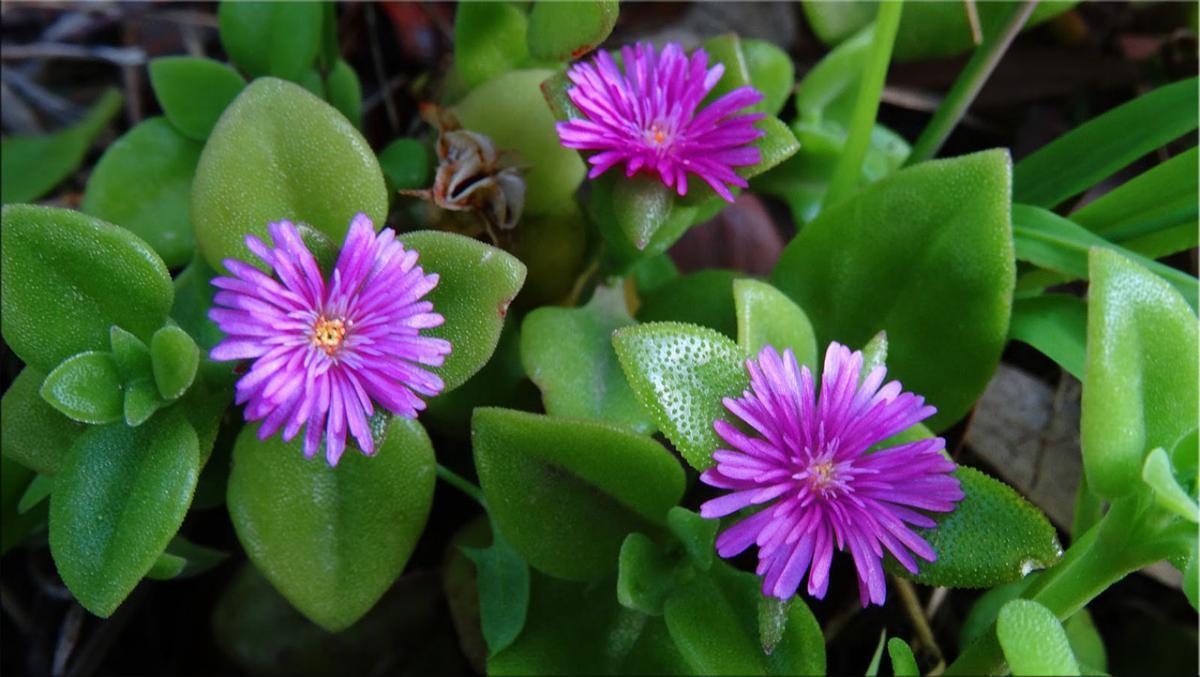 Аптения сердцелистная (Aptenia cordifolia). Синоним: Мезембриантемум сердцелистный (Mesembryanthemum cordifolium)