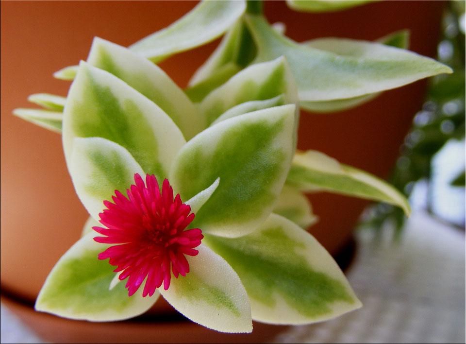 Аптения сердцелистная 'Variegata' (Aptenia cordifolia 'Variegata')