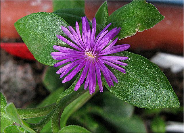 Аптения ланцетолистная (Aptenia lancifolia). Синоним: Мезембриантемум ланцетолистный (Mesembryanthemum lancifolium)