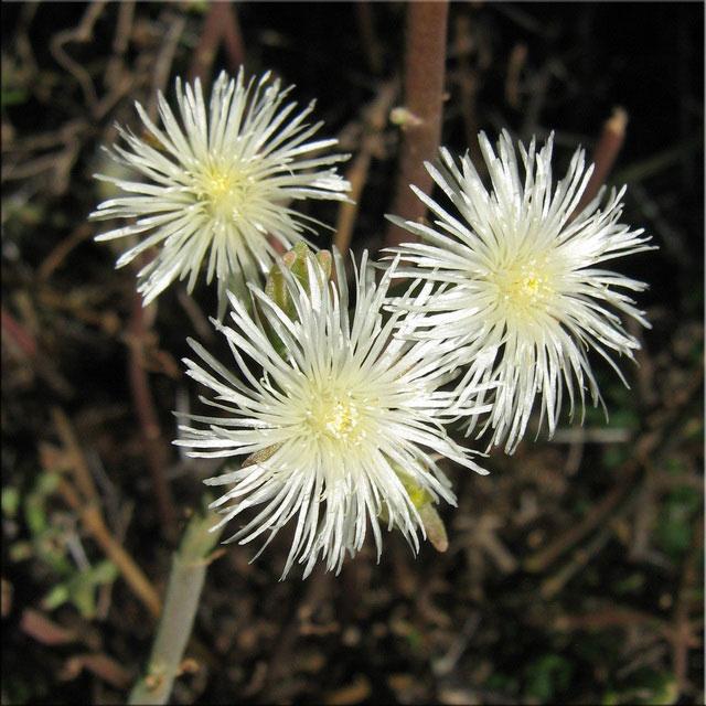 Aptenia geniculiflora