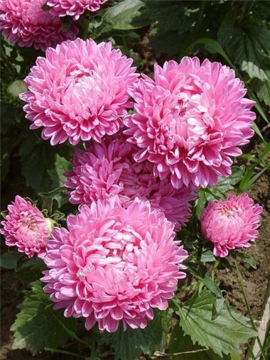 цветочный гороскоп Астра (12 сентября - 22 сентября) фото