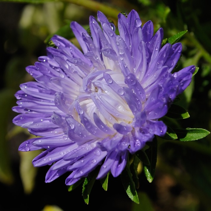 Астра (Aster) фото