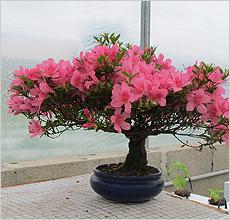 Рододендрон тупой (R. obtusum (Lindl.) Planch.). японская азалия