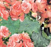 Бегонии группы Лоррен Begonia Lorrain