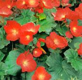 Бегонии группы Элатиор Begonia Elatior