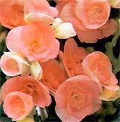 Бегония клубневидная Begonia tuberhybrida