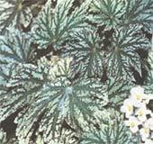 Бегония диадема Begonia diadema