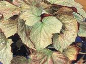 Бегония императорская Begonia imperialis