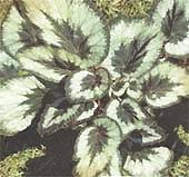 Бегония Гриффита Begonia griffithii