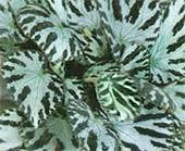 Begonia rex Anna Grace, Begonia rex Winter Ace