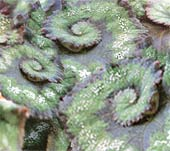 Бегония Begonia rex Peace