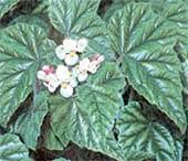 Бегония металлическая Begonia metallica