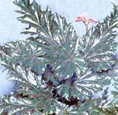Бегония пильчато-лепестная Begonia serratipetala