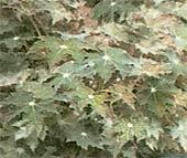 Бегония Клеопатра Begonia Cleopatra