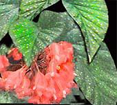 Бегония коралловая Begonia corallina