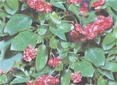 Бегония вечноцветущая Begonia semperflorens