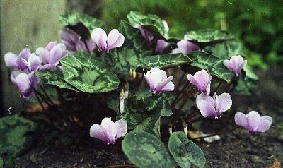 Цикламен плющелистный / неаполитанский ( Сyclamen hederifolium/neapolitanum ) фото