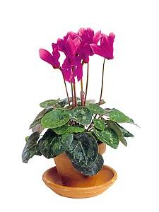 уход за цветами цикламен, фото цветов