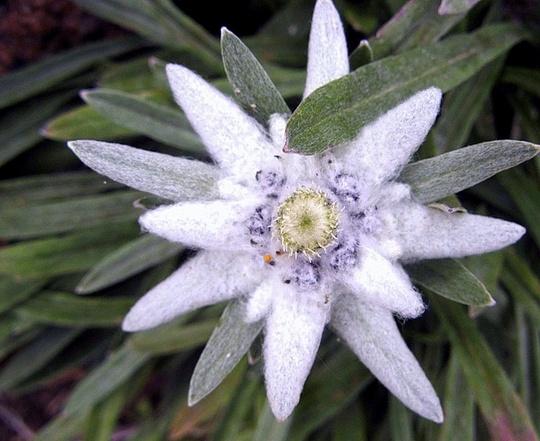 цветочный гороскоп эдельвейс фото