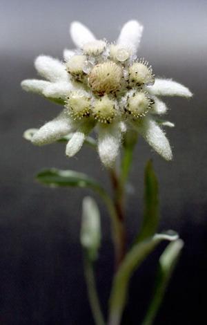 Эдельвейс (Edelweiss)