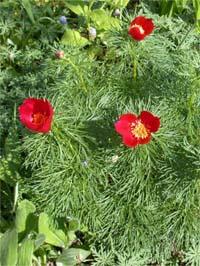 Пион тонколистный, узколистный (Paeonia tenuifolia)