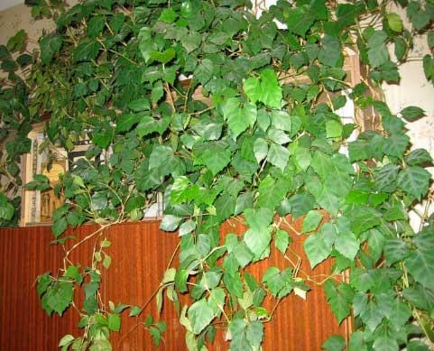 Добавьте в дом вьющиеся растения по фен-шуй, комнатные цветы фен шуй