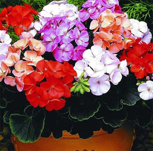 Герань (пеларгония) по Фен-Шуй, цветы по фен шую