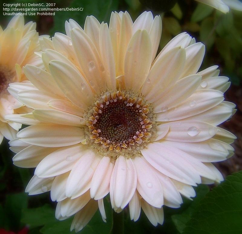 Гербера Джемсона (Gerbera jamesonii H. Bolus) фото