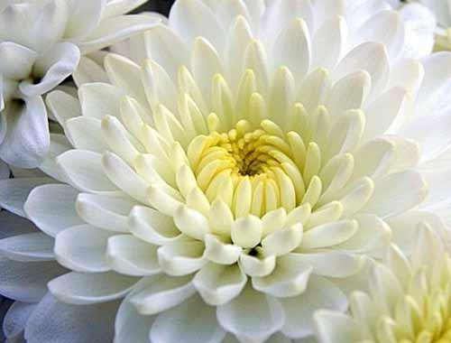 Хризантемы фото, разновидности хризантем виды, уход за хризантемами