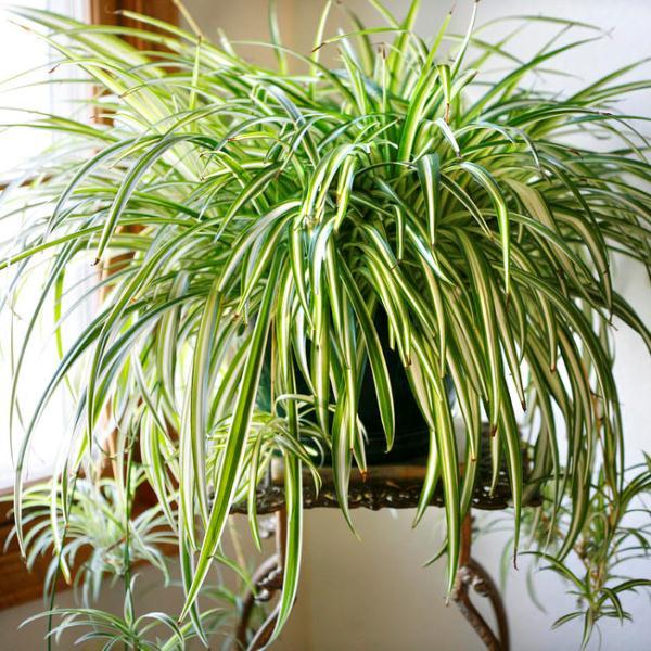 неприхотливые комнатные растения хлорофитум