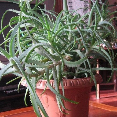 неприхотливые комнатные растения Алое (Aloe arborescens)