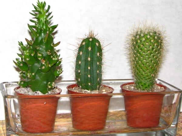 неприхотливые комнатные растения Кактусы (Cactaceae)
