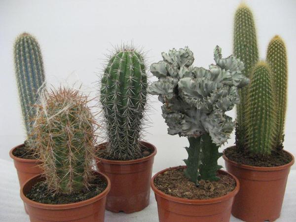 Кактусы (Cactaceae) комнатные растения для начинающих
