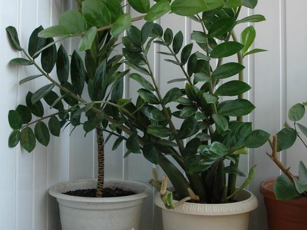 замиокулькас фоткомнатные растения для начинающих