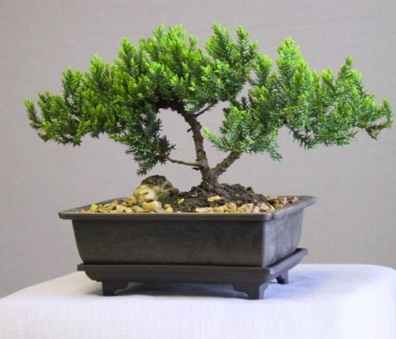 неприхотливые комнатные растения Подокарпус (Podocarpus)