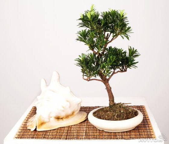 Подокарпус (Podocarpus) комнатные растения для начинающих