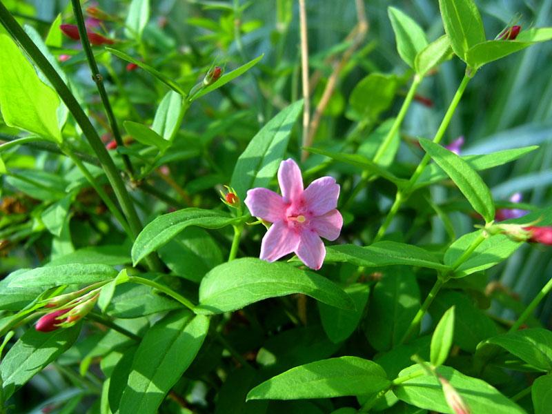 Жасмин Биса (Jasminum beesianum Forrest & Diels)