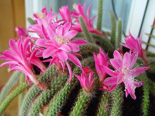 Кактусы по Фен Шуй, цветы по Фен Шуй