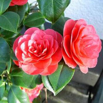 Камелия японская (Camellia japonica L.)
