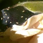 вредители растений цветов Паутинные клещи